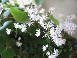 ツクシカラマツの可憐な花