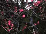 大宰府の梅