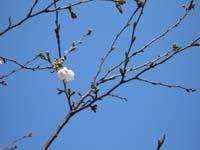 咲いた、咲いた、桜の花が