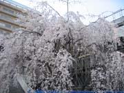 ビルの谷間のしだれ桜